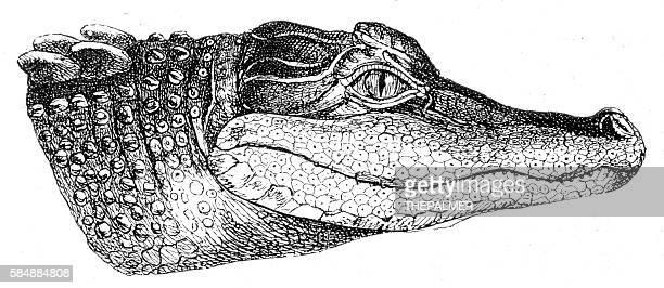 Alligator head engraving 1888