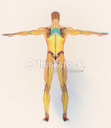 Cuerpo De Anatomía Muscular Exploración De Rayos Romboidal Del ...