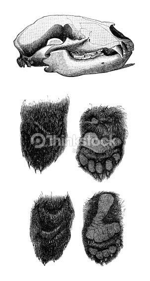 Anatomía De Un Oso Ilustración de stock | Thinkstock