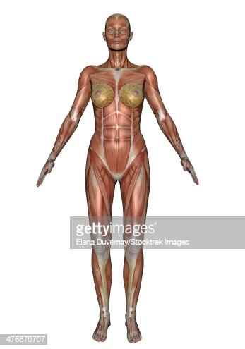 female muscular system front view stock illustration | getty images, Muscles