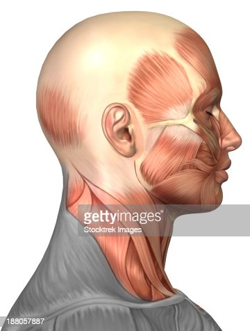 anatomy of a male human head with half muscles and half skull, Muscles