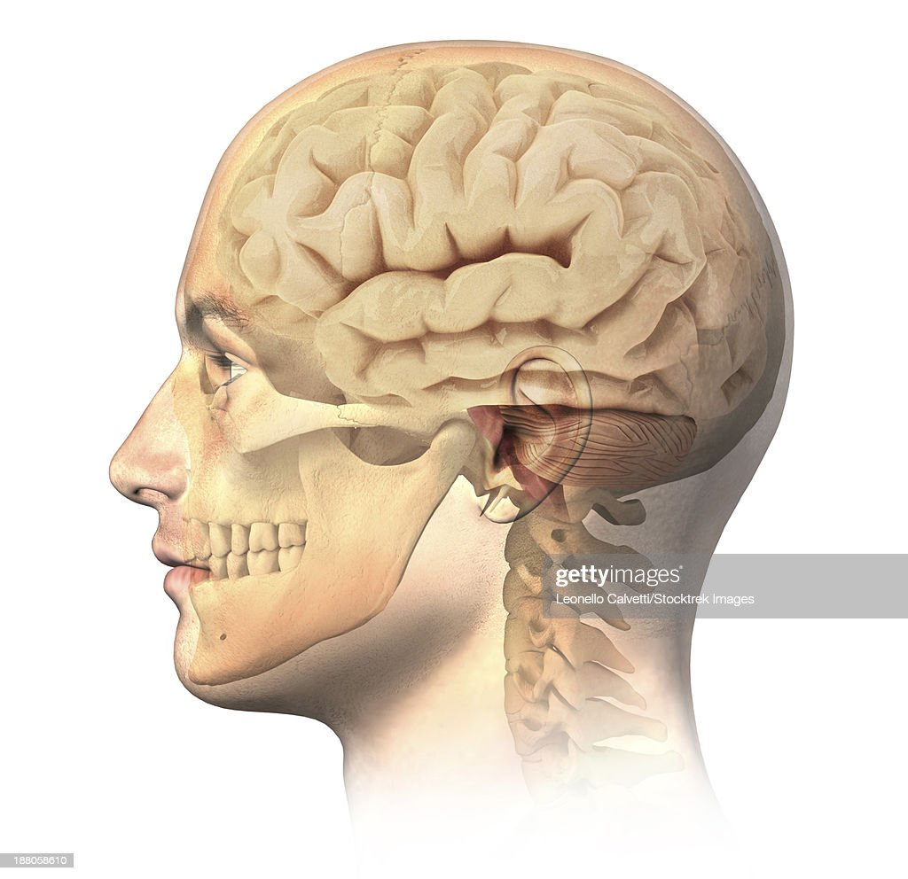 anatomy of human head with skull and brain superimposed side view