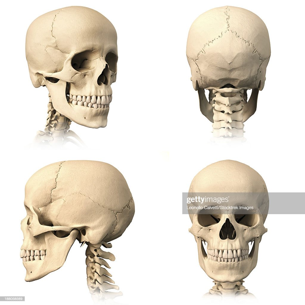 anatomy of human skull from different angles stock