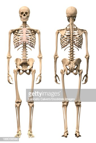 anatomy of male human skeleton front view and back view stock, Skeleton