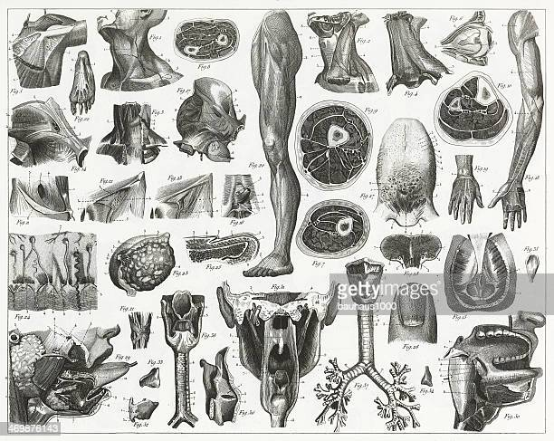 Anatomy of Organs Engraving