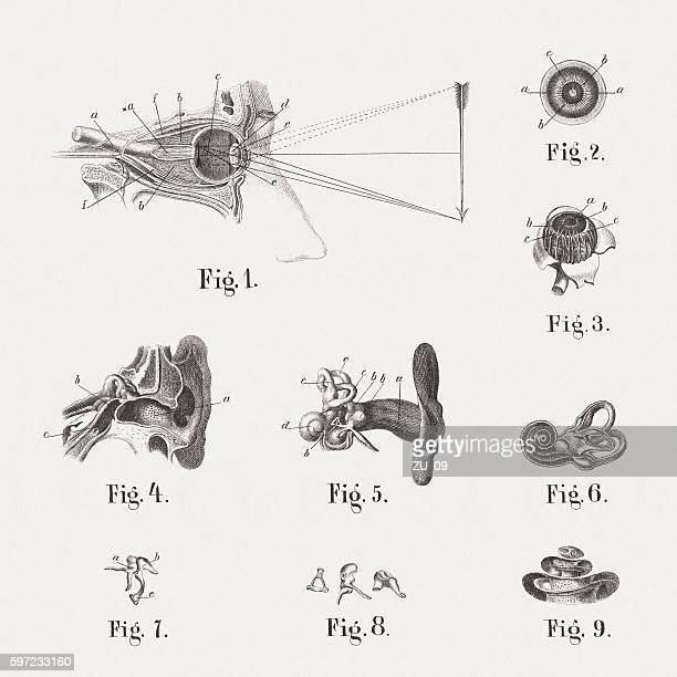semicircular canal stock illustrations and cartoons