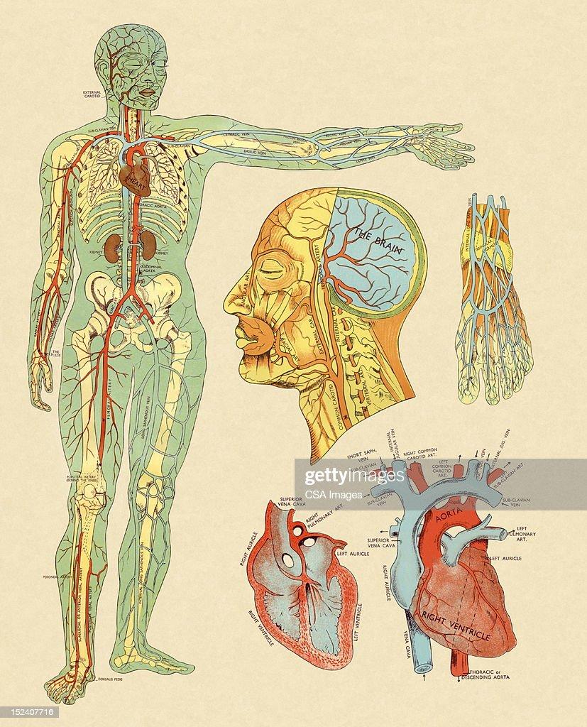Anatomy of Veins and Arteries : Stock Illustration