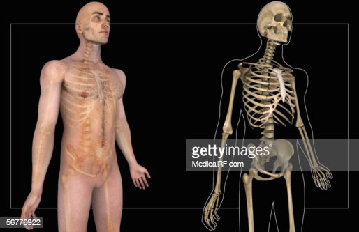 anterior angled view of the human skeleton within a transparent, Skeleton