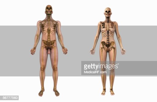 anterior illustration showing the male and female bodies, Skeleton
