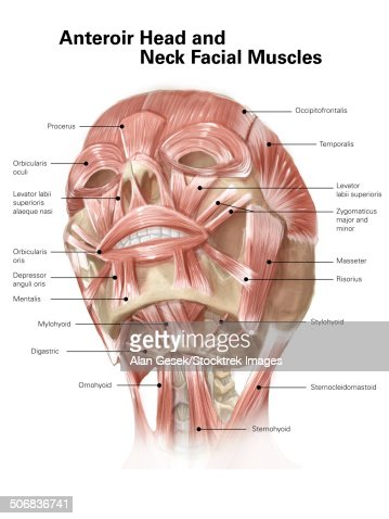 human head showing bone and muscles stock illustration | getty images, Muscles
