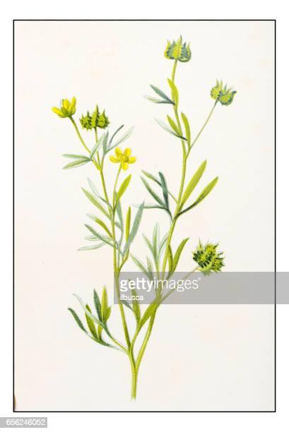 Antique illustration de fleur plante couleur: crowfoot de maïs, renoncule de maïs