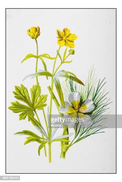 Antique illustration de fleur plante couleur: boucle d'or et la renoncule d'eau