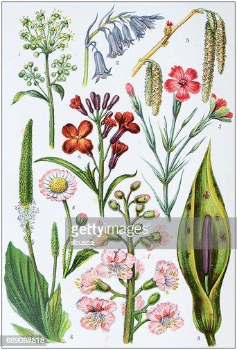Antiguas Ilustraciones De Color Flores Ilustracion De Stock Getty
