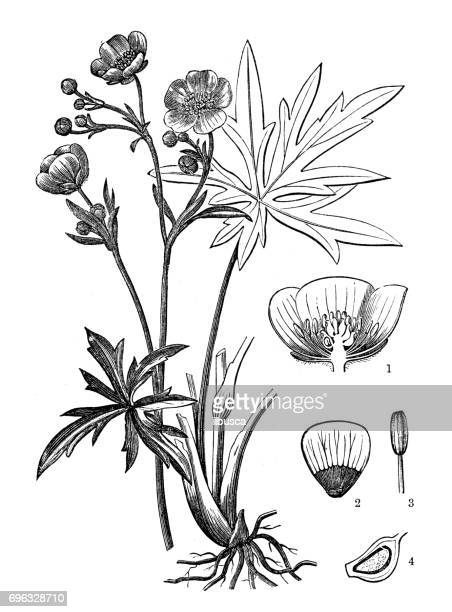 Ancienne gravure illustration: commune renoncule (Ranunculus acris)