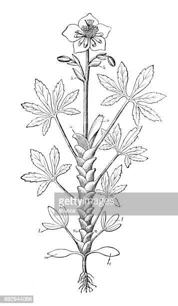 Antik gravyr illustration: Helleborus niger (julros)