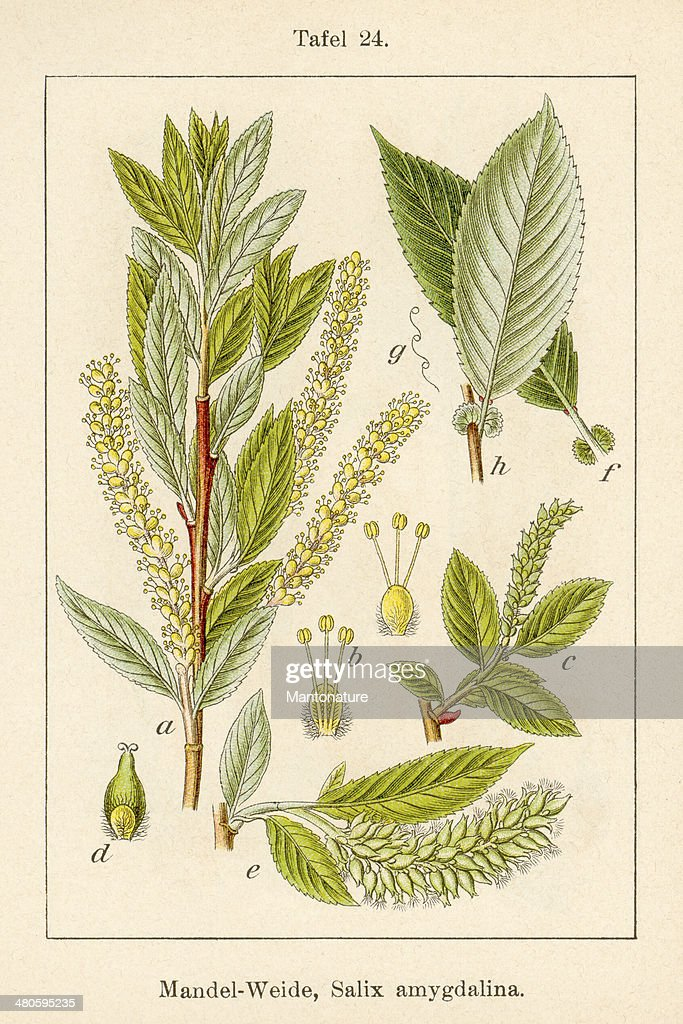Antique Flower Illustration: Almond Willow (Salix triandra) : Stock Illustration
