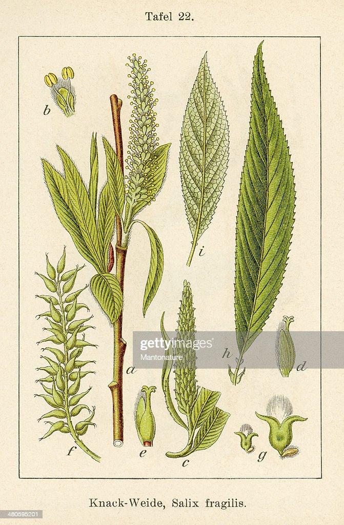 Antique Flower Illustration: Crack Willow (Salix fragilis) : Stock Illustration