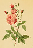"""""""Classic illustration of a tea rose. Engraving by Pierre-Joseph Redoute. Published in Choix Des Plus Belles Fleurs, Paris (1827).CLICK ON THE LINKS BELOW TO SEE HUNDREDS OF SIMILAR IMAGES:"""""""