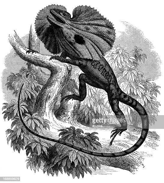 Antique illustration of chlamydosaurus kingii or frilled lizard
