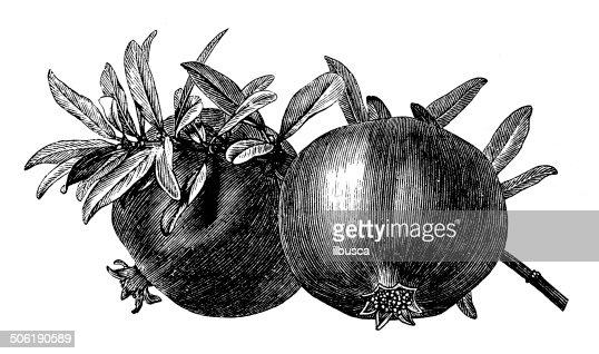 Ancienne illustration de grenade illustration getty images - Grenade fruit dessin ...