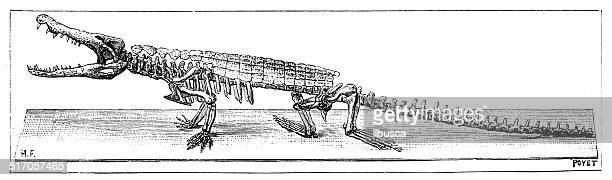 Antique illustration of reptile crocodile fossil