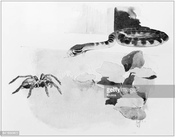 Antique illustration: Spider and snake