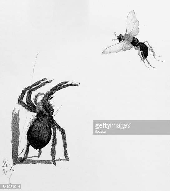 Antique illustration: Spider and wasp
