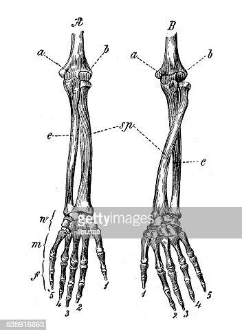 Anticuario Científica Médica ilustración de alta resolución: Brazo los huesos : Ilustración de stock
