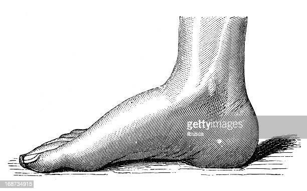 Antique medical scientific illustration high-resolution: foot