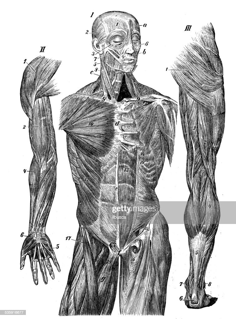 Antigo científica médica ilustração de alta resolução: Os músculos : Ilustração de stock