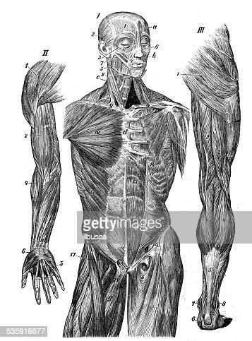 Anticuario Científica Médica ilustración de alta resolución: Músculos : Ilustración de stock