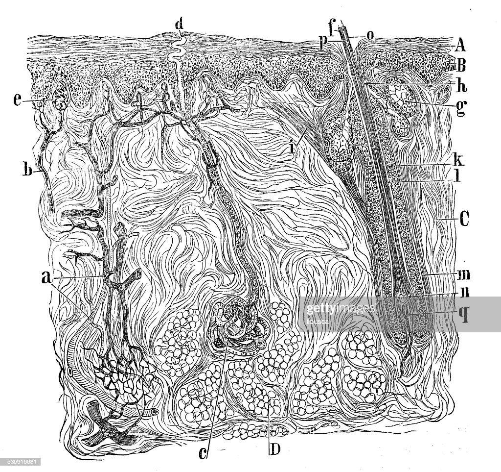 Anticuario Científica Médica ilustración de alta resolución: Sección de la piel : Ilustración de stock