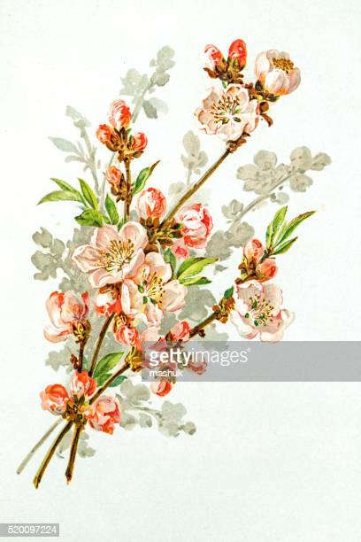 Apple blossom 19 century illustration
