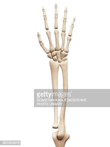 arm and hand bones illustration stock illustration | getty images, Cephalic Vein