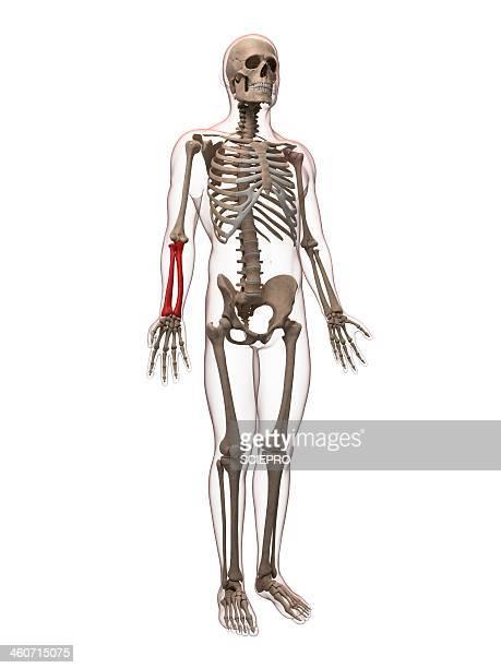 Arm bones, artwork
