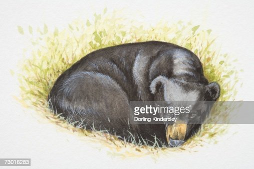 Asian Black Bear (Ursus thibetanus) lying curled up in grass. : Stock Illustration