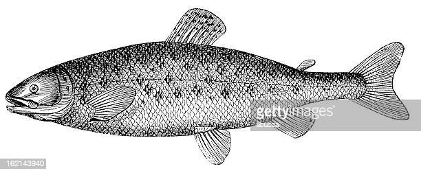 Saumon atlantique (Salmo salar), antique noir et blanc illustration