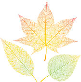 Three autumn leaves isolated on white.