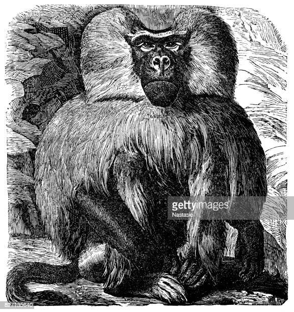 Baboon (Cynocephalus Hamadryas)