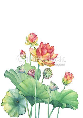 Banner poster of pink lotus flower with leaves seed head bud banner poster of pink lotus flower with leaves seed head bud water mightylinksfo