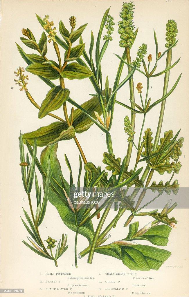 bayroot pond weed lemnoideae duckweed victorian botanical. Black Bedroom Furniture Sets. Home Design Ideas
