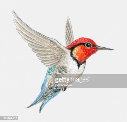 Bee hummingbird flying - photo#6