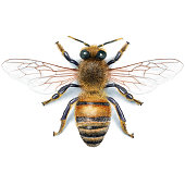 Bee illustration, what made in digital.