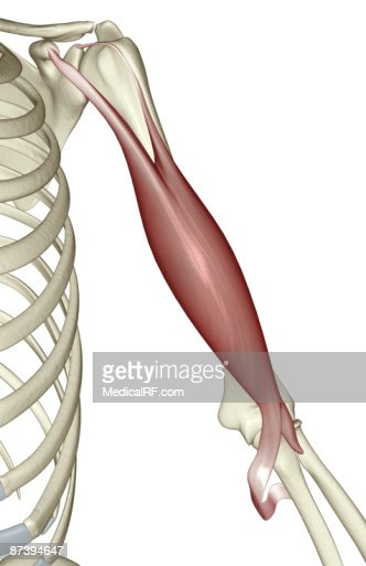 biceps brachii stock illustration | getty images, Human Body