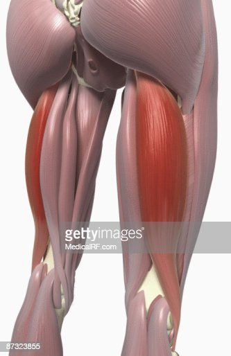 bicep femoris muscle Exercises which target specific hamstring muscle groups  surface electromyography was performed by placing electrodes on the skin over the biceps femoris and.