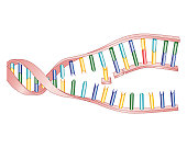 Biomedical illustration of protein synthesis within DNA