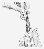 Black and white illustration, making four cuts along veins of physalis flower, to open up the flower (drying flowers)