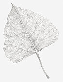 Black and white illustration of a skeletonized leaf, exposing the leaf veins