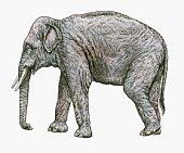 Black and white illustration of Asian Elephant (Elephas colbertis)