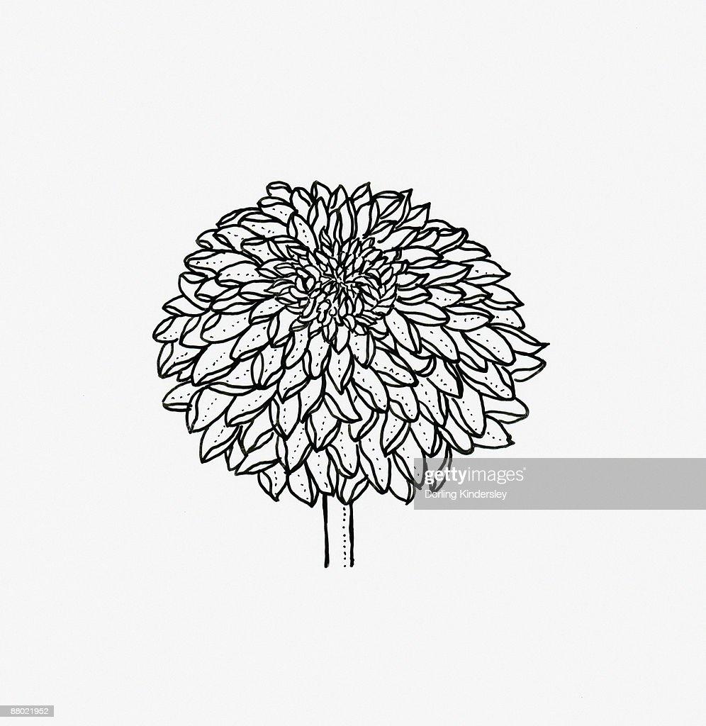 Black and white illustration of decorative Chrysanthemum flower head : Stock Illustration